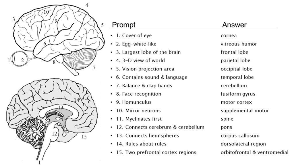 Brain quiz biologicalpsych brain quiz ccuart Image collections